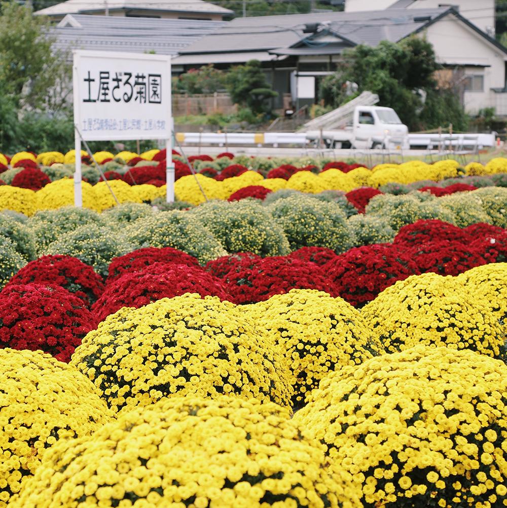 土屋のざる菊園